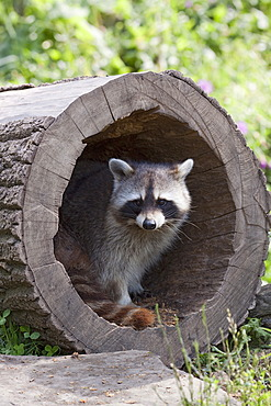 Raccoon (Procyon lotor) in a hollow tree trunk in an enclosure, ZOOM-Erlebniswelt, Gelsenkirchen, North Rhine-Westphalia, Germany, Europe