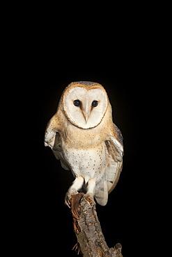 Barn Owl (Tyto alba) sitting on a branch, Volcanic Eifel, Rhineland-Palatinate, Germany, Europe