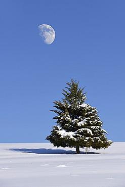 Fir (Abies sp.) in winter, Onstmettingen, Schwäbische Alb, Baden-Württemberg, Germany, Europe