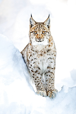 Eurasian Lynx (Lynx lynx), in snow, Bavaria, Germany, Europe