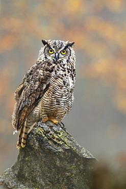 Great horned owl (Bubo virginianus), sitting on rock in autumn, Bavaria, Germany, Europe