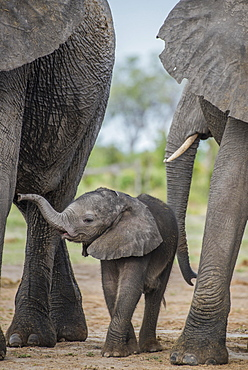 African elephant (Loxodonta africana), a few days old calf, Chobe National Park, Chobe District, Botswana, Africa