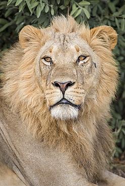 Lion (Panthera leo), male, portrait, Savuti, Chobe National Park, Chobe District, Botswana, Africa