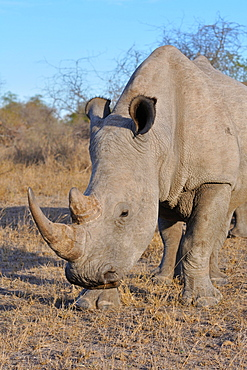 White rhinoceros or Square-lipped rhinoceros (Ceratotherium simum), adult male grazing, Kruger National Park, South Africa, Africa