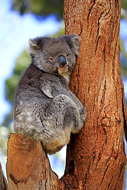 Koala (Phascolarctos cinereus), adult on tree, Kangaroo Island, South Australia, Australia, Oceania