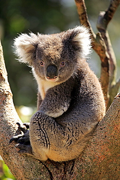 Koala (Phascolarctos cinereus), adult, sitting in branch fork on tree, Kangaroo Island, South Australia, Australia, Oceania