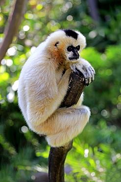 Northern white-cheeked gibbon, (Nomascus leucogenys), adult female on tree, captive, Occurrence Vietnam, Asia, Adelaide, Australia, Oceania