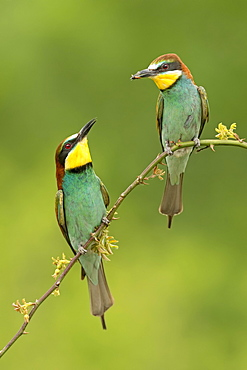 Bee-eater (Merops apiaster), couple with bridal present, Saxony-Anhalt, Germany, Europe
