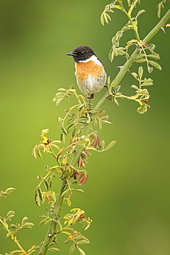 European stonechat (Saxicola rubicola), male, Saxony-Anhalt, Germany, Europe