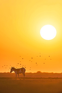Onager or Asiatic wild ass (Equus hemionus), endangered species, in the evening sun, Little Rann of Kutch, Gujarat, India, Asia
