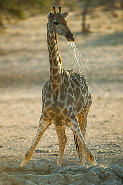 Giraffe (Giraffa camelopardalis) drinking at a waterhole, Kgalagadi-Transfrontier-Nationalpark, Northern Cape Province, South Africa, Africa