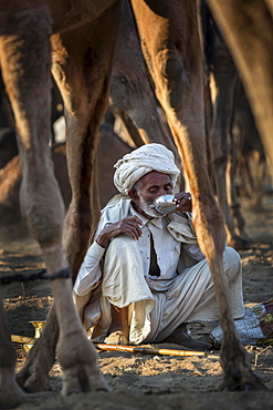 A man having a drink among his camels, Pushkar Camel Fair, Pushkar, Rajasthan, India, Asia