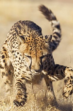 Cheetah (Acinonyx jubatus), playing, captive, Harnas Wildlife Foundation, Namibia, Africa