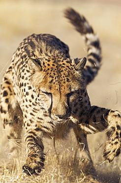 Cheetah (Acinonyx jubatus), playing, captive, Harnas Wildlife Foundation, Namibia, Africa