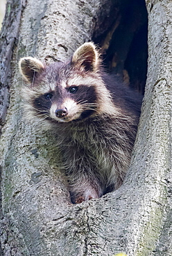 Young raccoon (Procyon lotor) looking out of a tree hollow, Hesse, Germany, Europe