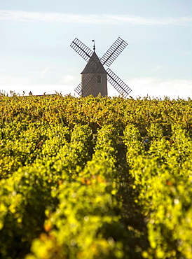 Vineyard, Moulin-a-Vent, Beaujolais wine growing area, Rhone and Saône-et-Loire, France, Europe
