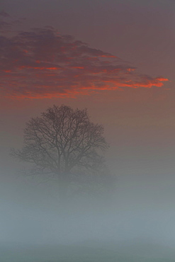 Spring mist above the floodplain meadows, solitary oak tree at sunrise, Middle Elbe Biosphere Reserve, Saxony-Anhalt, Germany, Europe