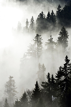Coniferous forest in the fog, Canton Lucerne, Switzerland, Europe
