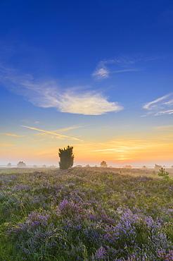 Heath landscape, Luneburg Heath, near Undeloh, Lower Saxony, Germany, Europe