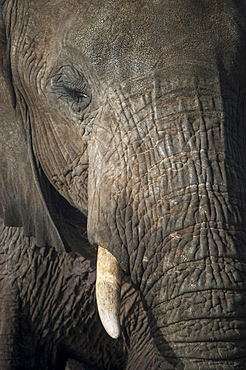 African Elephant (Loxodonta africana), portrait, Chobe Waterfront, Chobe National Park, Botswana, Africa