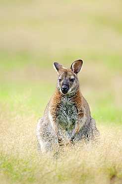 Red-necked Wallaby or Bennett's Wallaby (Macropus rufogriseus) native to Australia, captive, Germany, Europe