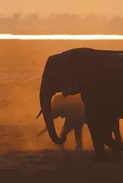 African Bush Elephants (Loxodonta africana), Chobe National Park, Kasane, North-West District, Botswana, Africa