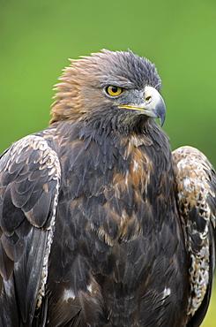Golden Eagle (Aquila chrysaetos), captive, Germany, Europe