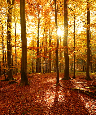 Beech (Fagus sp.) forest in autumn, sun rays shining through trees, Harz, Saxony-Anhalt, Germany, Europe