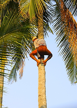 Man climbing a coconut tree, Kerala, South India, India, Asia