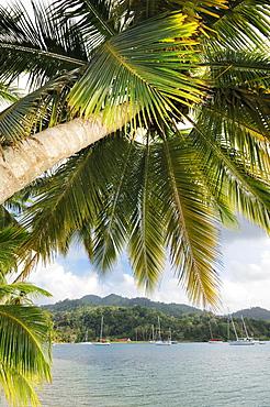 Palm tree, sailing boats in the bay of Isla Linton, Colon, Caribbean, Panama, Central America