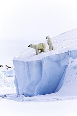 Polar bears (Ursus maritimus), mother animal and a 15 month old cub on an iceberg, Unorganized Baffin, Baffin Island, Nunavut, Canada, North America