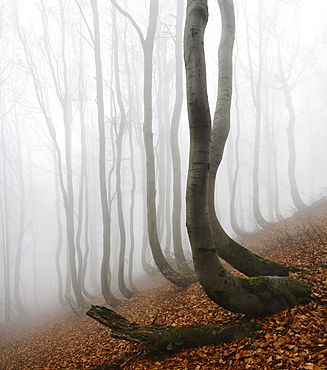 Mysterious forest in the fog, bizarrely overgrown bare beeches with curved trunks, autumn, Ore Mountains, Czech Republic, Europe