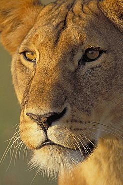 Lion (Panthera leo), Masai Mara Wildlife Reservation, Kenya, Africa