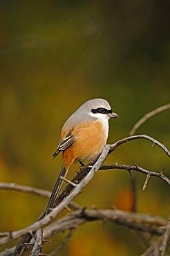 Long-tailed Shrike or Rufous-backed Shrike (Lanius schach) in the jungles of Ranthambore National Park, Rajasthan, India, Asia