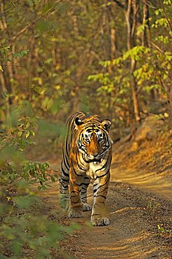 Tiger (Panthera tigris) walking on a path, Ranthambore National Park, Rajasthan, India, Asia