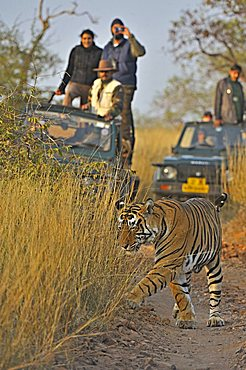Tourist vehicles following a Tiger (Panthera tigris) on a tiger safari in Ranthambore tiger reserve, Rajasthan, India, Asia