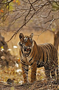Tiger (Panthera tigris) in the dry deciduous habitat of Ranthambore Tiger Reserve, Rajasthan, India, Asia