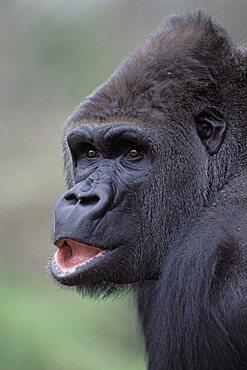 Lowland Gorilla (Gorilla)