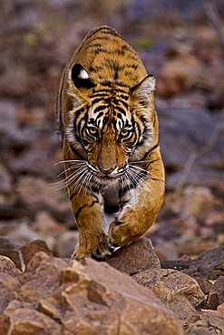 Young male Bengal tiger (Panthera tigris tigris) walking in the forest track in Ranthambore National Park, Rajasthan, India