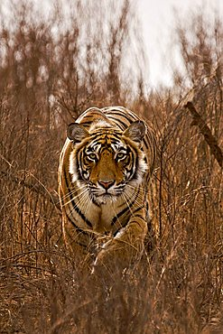 Alert tiger (Panthera tigris) stalking on in the dry grasses of the dry deciduous forest of Ranthambore Tiger Reserve, India