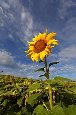 Sunflower, Puy de Dome, France, Europe