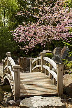 Wooden bridge in a garden, almond tree (Prunus dulcis), Erfurt, Thuringia, Germany, Europe