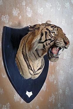 Stuffed head of a tiger, Udai Bilas Palace Heritage Hotel, Dungarpur, Rajasthan, India, Asia