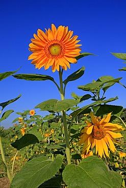 Sunflowers (Helianthus annuus), Germany, Europe