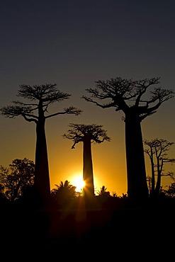 Baobab Alley, Baobab trees (Adansonia digitata) at sunset, near Morondava in the west of Madagascar, Africa, Indian Ocean