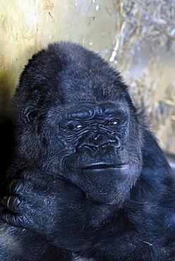 Eastern Lowland Gorilla (Gorilla beringei graueri) at a zoo in Germany, Europe