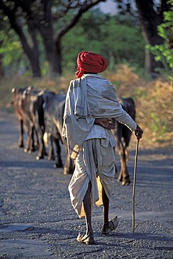 Cattle herdsman wearing a red turban, near Udaipur, Rajasthan, North India, India, Asia