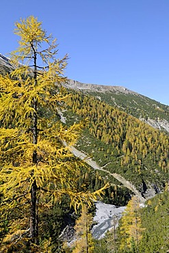 Autumnal larch forest, Val Cluozza, Swiss National Park, Engadin, canton of Grisons, Switzerland, Europe