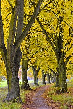 Poplar avenue with path in autumn, Black poplar (Populus nigra), Lower Franconia, Franconia, Bavaria, Germany, Europe