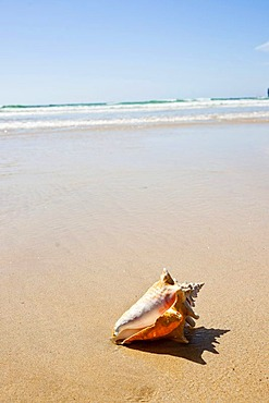 Shell on the beach, Camaret-sur-Mer, Finistere, Brittany, France, Europe
